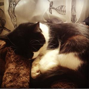 domestic short hair cat fast asleep