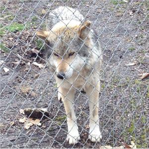wolf sancturary missouri